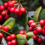 Holly plant with red berries